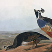 Californian Partridge Poster