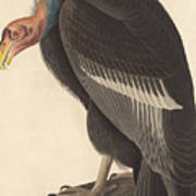 Californian Vulture Poster