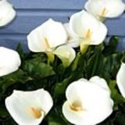 Calla Lilies- Oregon Poster