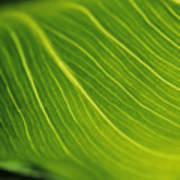 Calla Lily Leaf Poster