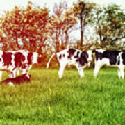 Calves In Spring Field Poster