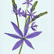 Camas, The Flowers Poster