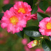 Camellia Pink Poster