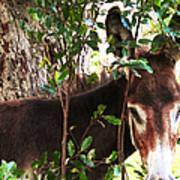 Camera Shy Donkey Poster