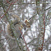 Camera Shy Grey Squirrel Poster