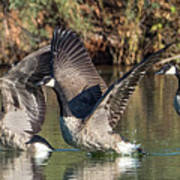 Canada Geese 5659-092217-1cr-p Poster