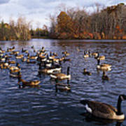 Canada Geese Branta Canadensis Poster