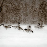 Canada Geese Feeding In Winter Poster