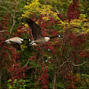Canada Geese In Autumn Poster