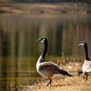 Canada Geese In Golden Sunlight Poster