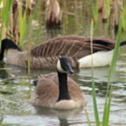 Canada Geese In Pond Poster