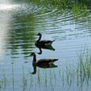 Canada Geese Swimming By Fountain Poster
