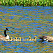 Canada Geese With 5 Goslings Poster