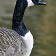 Canada Goose Portrait Poster