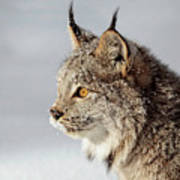Canada Lynx Up Close Poster