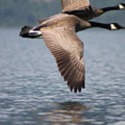 Canada's Goose Poster
