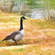 Canadian Geese 6 Poster