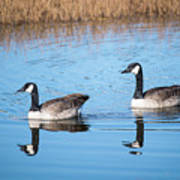 Canadian Geese Couple Poster