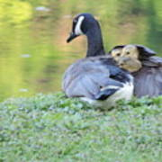 Canadian Goose Mother And Babies Poster