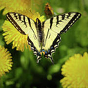 Canadian Swallowtail Butterfly Poster