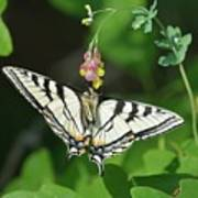 Canadian Tiger Swallowtail Butterfly-underside Poster