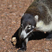 Candid Of A Coati Poster