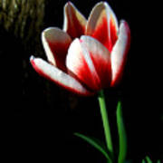Candy Cane Tulip Poster