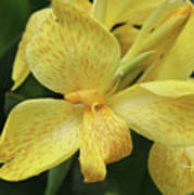 Canna Amarillo IIi Poster by Suzanne Gaff