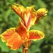 Canna Lily Poster by Kenneth Albin