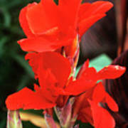 Canna Lily 'lucifer' Poster