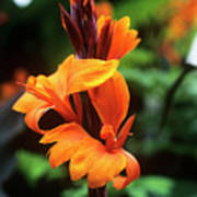 Canna Lily 'roi Humbert' Poster