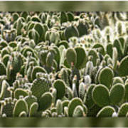 Canvas Of Cacti Poster