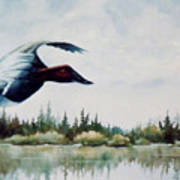 Canvasback  Over Lake Poster