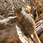 Canyon Squirrel Poster