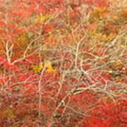 Cape Cod National Seashore Dwarf Beech Foliage Poster