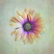 Cape Daisy Looking Up Poster