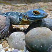Cape Rock Lizard Poster