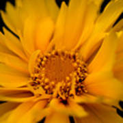 Captivating Coreopsis Poster