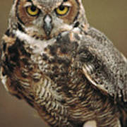 Captive Great Horned Owl, Bubo Poster