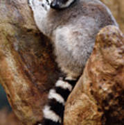 Captive Ring Tailed Lemur Perched In A Stone Tree Poster