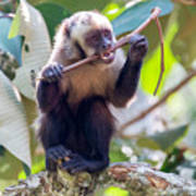 Capuchin Monkey Chewing On A Stick Poster