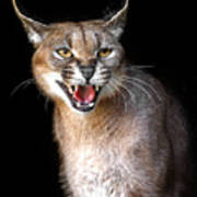 Caracal Hissy Fit Poster