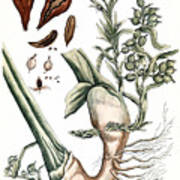 Cardamom, 1735 Poster