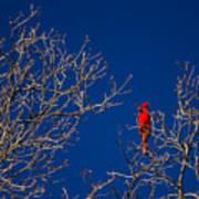Cardinal Against Blue Sky Poster