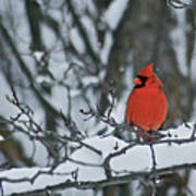 Cardinal And Snow Poster by Michael Peychich