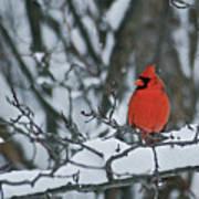 Cardinal And Snow Poster