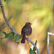 Cardinal  At Buschman Park Poster