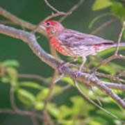 Cardinal Bird In The Wild In South Carolina Poster