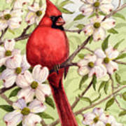 Cardinal In Dogwood Poster