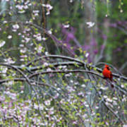 Cardinal In Flowering Tree Poster